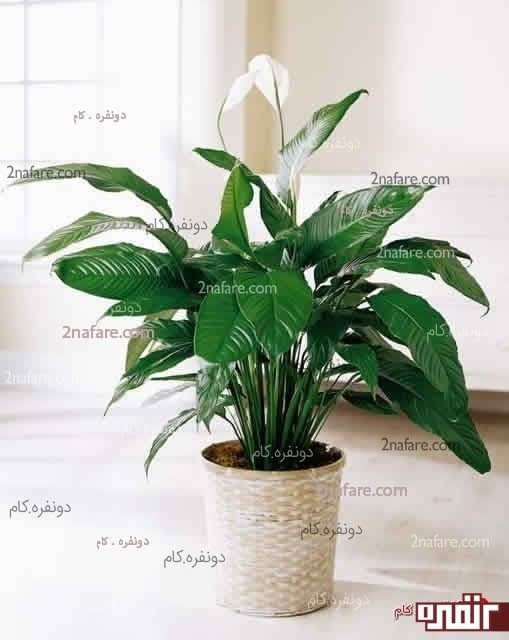 گیاه در نشیمن