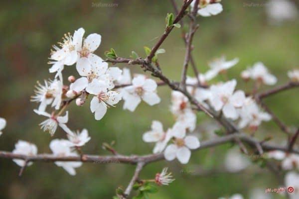 شکوفه های آلوچه (گوجه سبز)