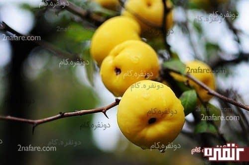 میوه درخت به