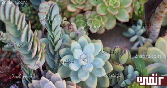انواع گیاهان آبدار و کاکتوس