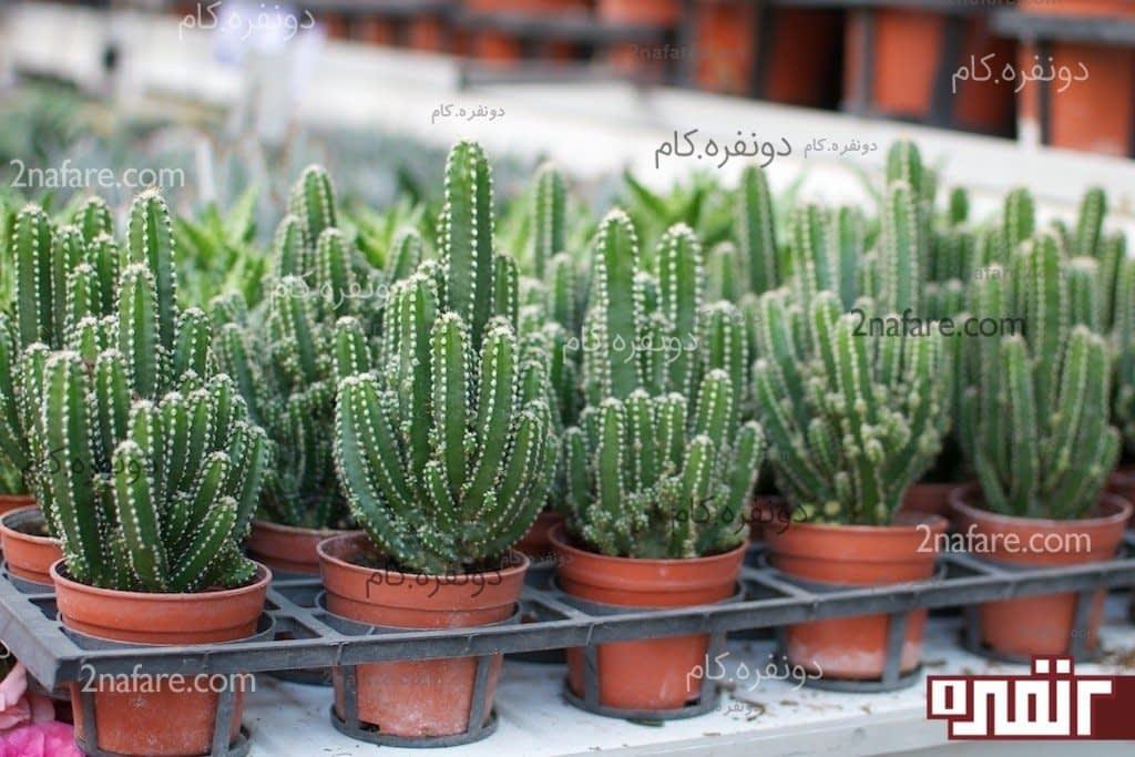 روش نگهداری کاکتوس و گیاهان آبدار [نکات اساسی] • دونفره