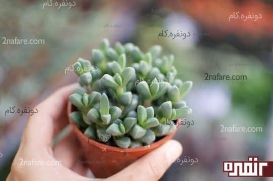 گیاهان آبدار