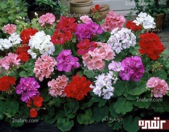 تکثیر ، نگهداری و پرورش گل شمعدانی