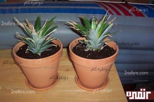 بعد از رشد ریشه ها آناناس را داخل گلدان بکارید