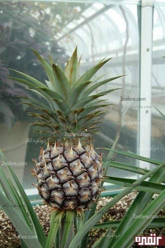 پرورش آناناس در خانه