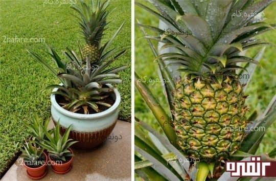 پرورش گیاه آناناس در خانه