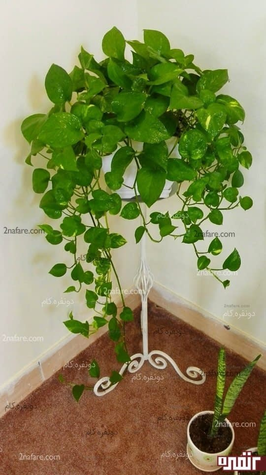 پوتوس بهترین گیاه اپارتمانی