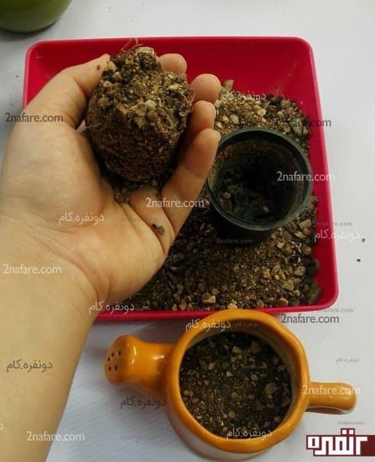 شکل قالبی خاک کاکتوس