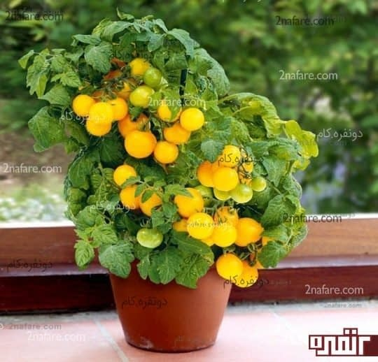 پرورش گوجه فرنگی گیلاسی در گلدان