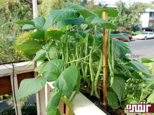 لوبیا سبز گلدانی