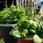 چگونگی پرورش سبزی و صیفی جات در گلدان