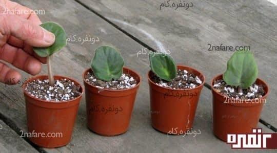 کاشتن برگها در گلدان و خاک مناسب