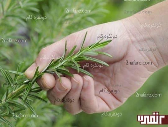 برداشت برگ گیاهان