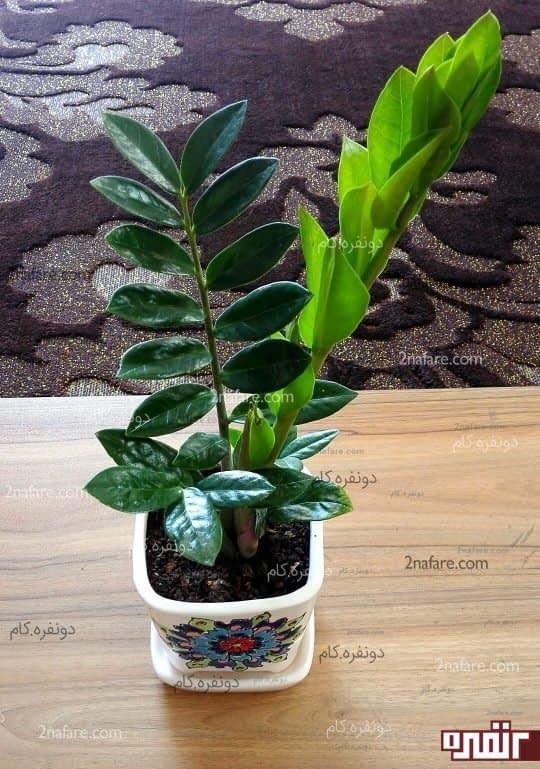بعد از خاک ریزی کف گلدان گیاه رو منتقل کنید و اطرافش رو با خاکبرگ پر کنید