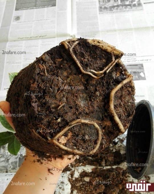گیاه رو قالبی برون بیارید