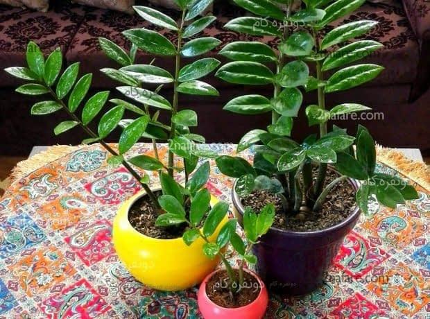 زاموفیلیا گیاهی قابل تکثیر بوسیله برگ