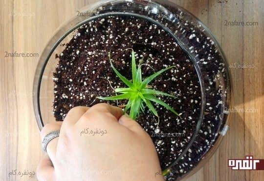 قراردادن گیاه از ریشه در خاک و پر کردن اطراف گیاه