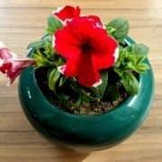 گل اطلسی سالیانه