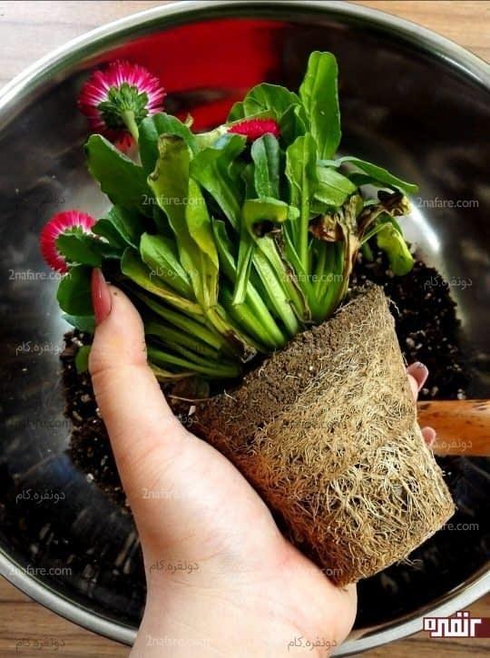 در این مرحله میتونید گیاه رو تقسیم و تکثیر کنید