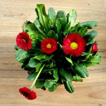 گل مینای چمنی قرمز