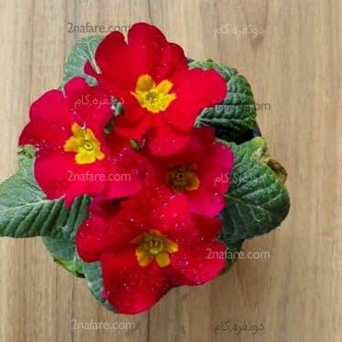 گل پامچال قرمز