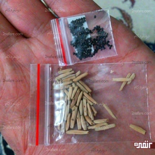 بذر آدنیوم ( بذر کرمی رنگ بذر آدنیوم هست )