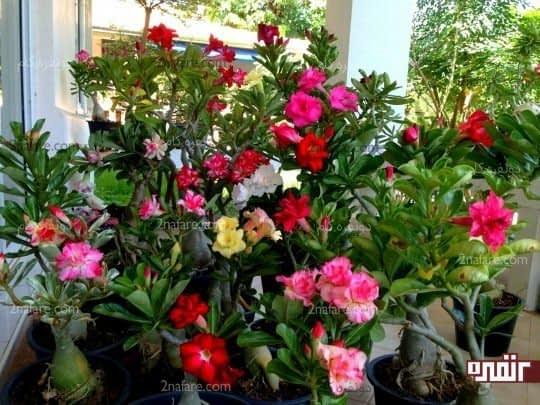 تنوع رنگی بالای گلهای آدنیوم