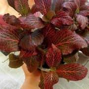رشد مطلوب برگهای فیتونیا قرمز براثر نور مناسب