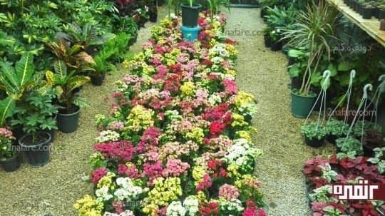 کالانکوآ در رنگهای مختلف و شرایط گلخانه ای