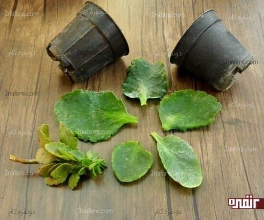 انتخاب برگهای درشت گیاه برای تکثیر به روش برگ