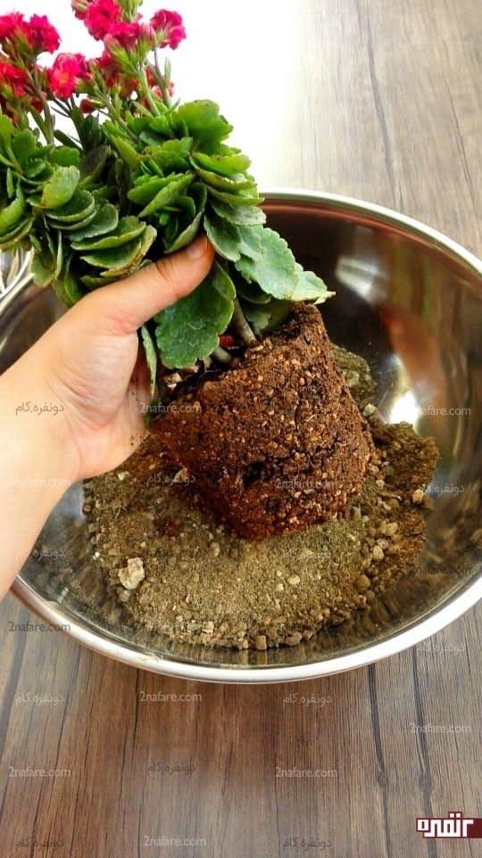 گیاه رو از گلدان اولیه خارج کنید و خاک پایین گیاه رو جدا کنید و کف گلدان جدید رو خاک ریزی کنید تا برای کاشت آماده بشه