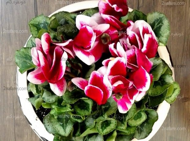 سیکلامن گیاه ایرانی