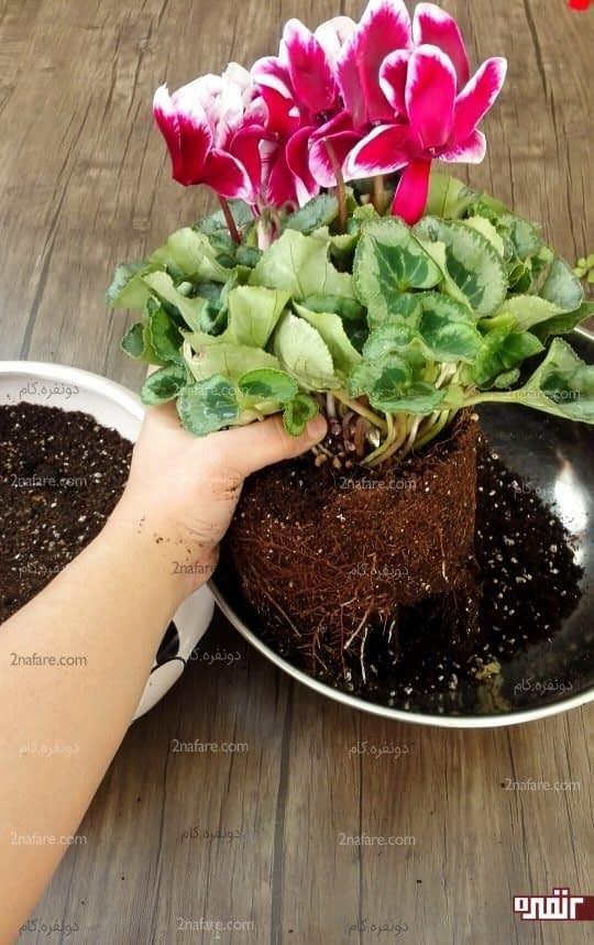 بعد از بیرون آوردن گیاه از گلدان فعلی خاک پایین گیاه رو جدا کنید تا خاک به نصف اندازه برسه