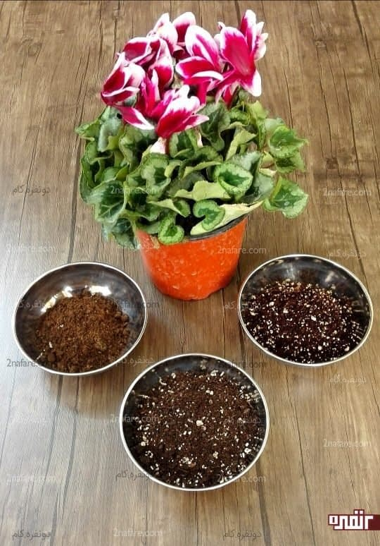 ترکیب خاک مناسب سیکلامن
