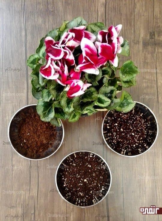 خاک مناسب با نسبت های درست برای سیکلامن