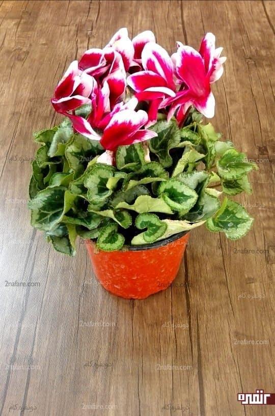گلدان سیکلامن قبل از تعویض