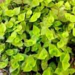 روش نگهداری و پرورش گیاه آویز کالیسیا