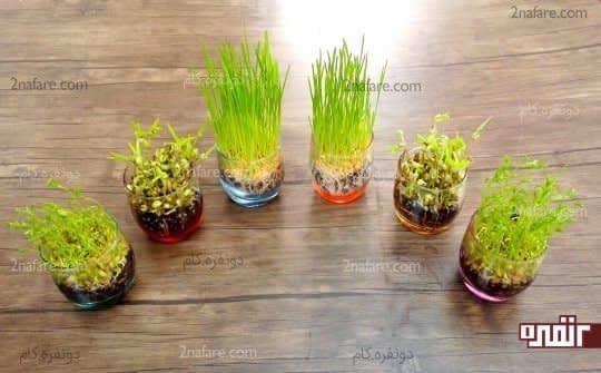 کاشت بذر در خاک برای تهیه سبزه