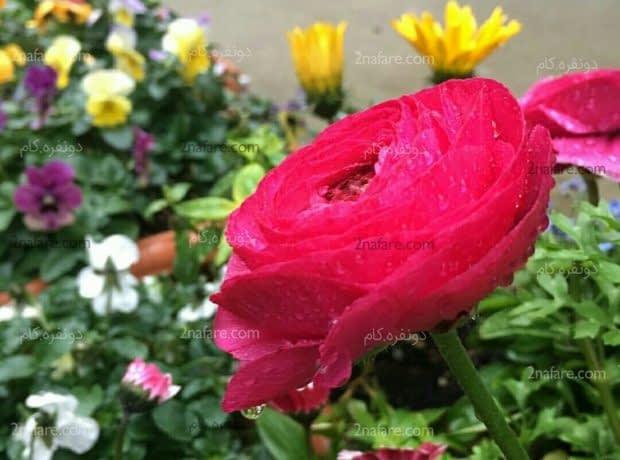 گل آلاله سرخابی