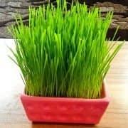 تهیه سبزه عید در گلدان