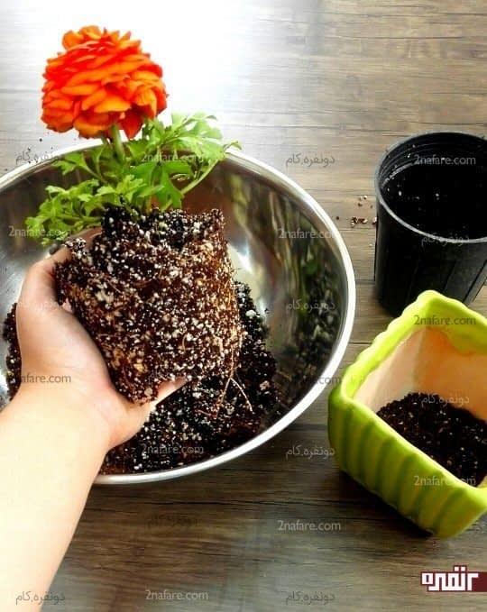 گل رو از گلدان بیرون بیارید تا هم بتونید اونو تکثیر ریشه ای کنید و هم گلدان رو تعویض کنید