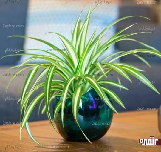گندمی گیاهی ضدعفونی کننده