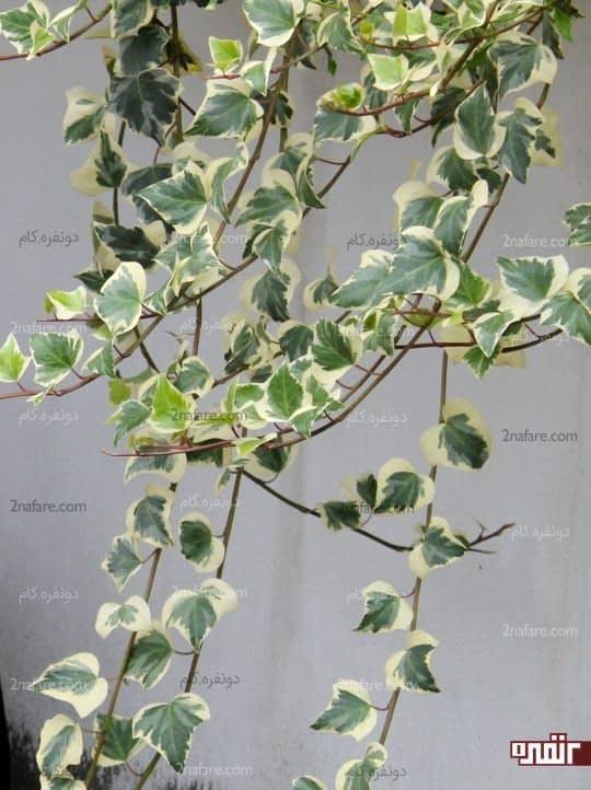 گیاه پاپیتال