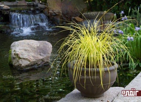گیاه سعد کوفی
