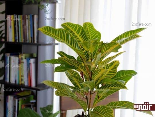 نور مهمترین عامل نگهداری گیاه کروتون