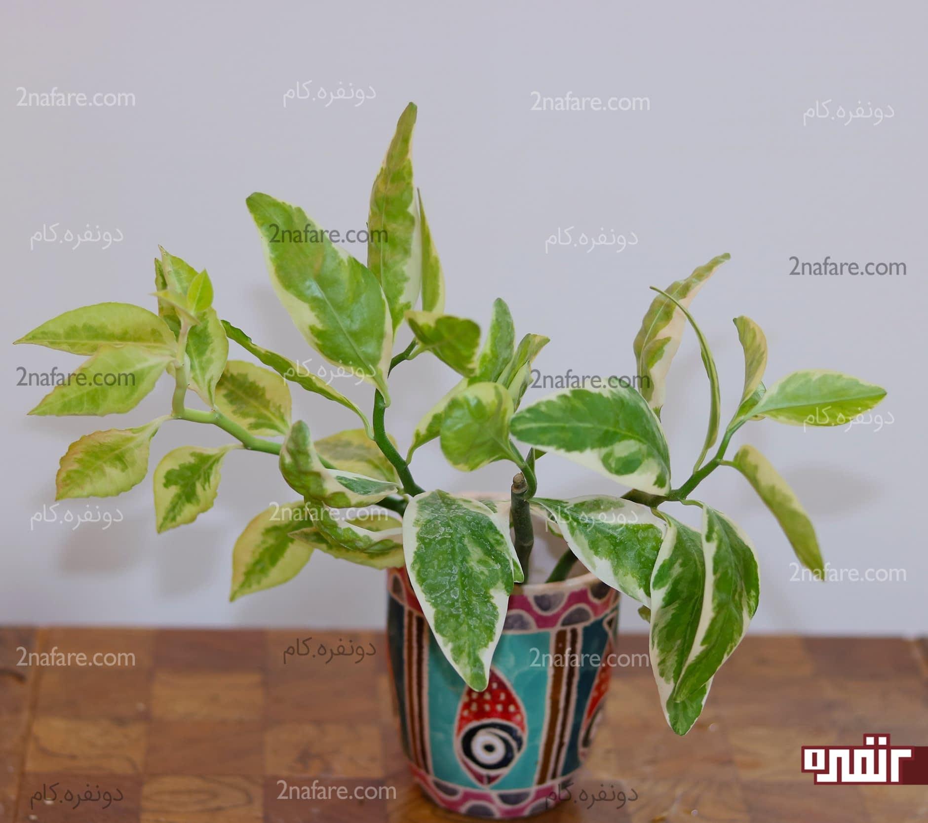 چیزهایی که برای نگهداری گیاه پدیلانتوس باید بدونید