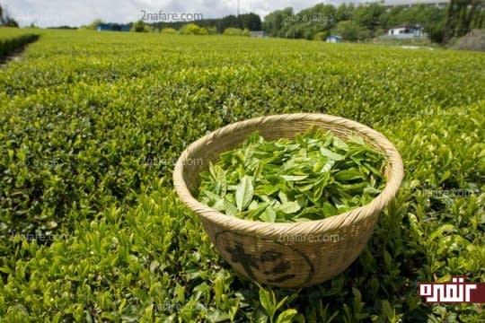 چای سبز بعلت فراوری کمتر خواص بیشتری داره