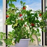 گلدانی پر از گوجه در پشت پنجره