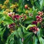 8 فایده ی گل میخک برای بدن