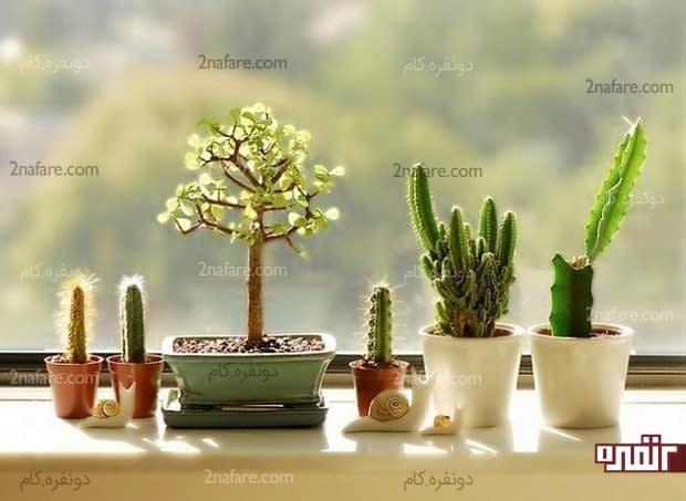 کاربرد کاکتوس های تزئینی در دکوراسیون اتاق نشیمن